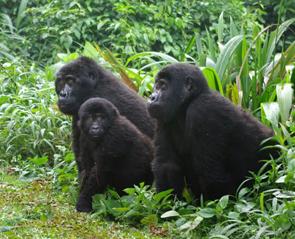 gorilla-tour