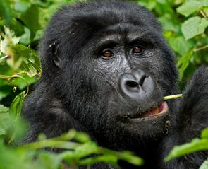 gorilla-trek-uganda