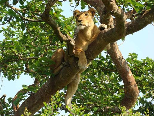 climbing-lions-ishasha