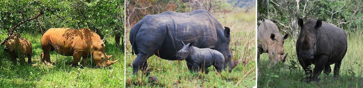 rhino-ziwa-sanctuary