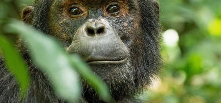 3 Days Uganda Chimpanzee Safari Kibale with A Birding Safari In Semuliki / 3 Days Kibale Chimpanzee Trekking Safari & Semuliki Birding Safari.